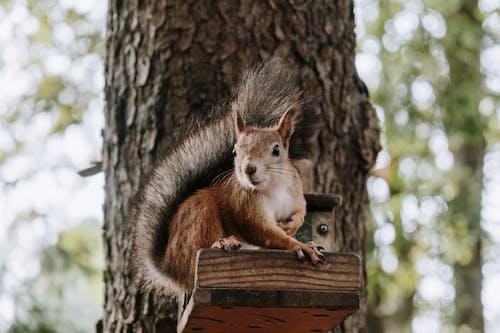 棕色木板上的棕色松鼠