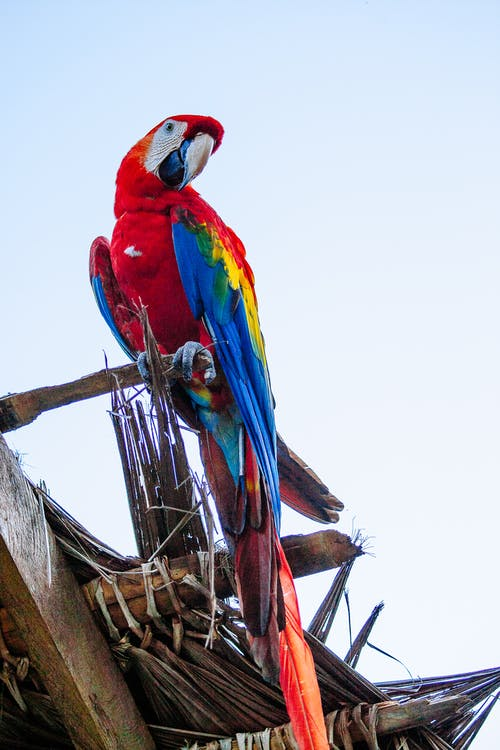 Red Blue and Yellow Macaw Perched on Brown Tree Branch