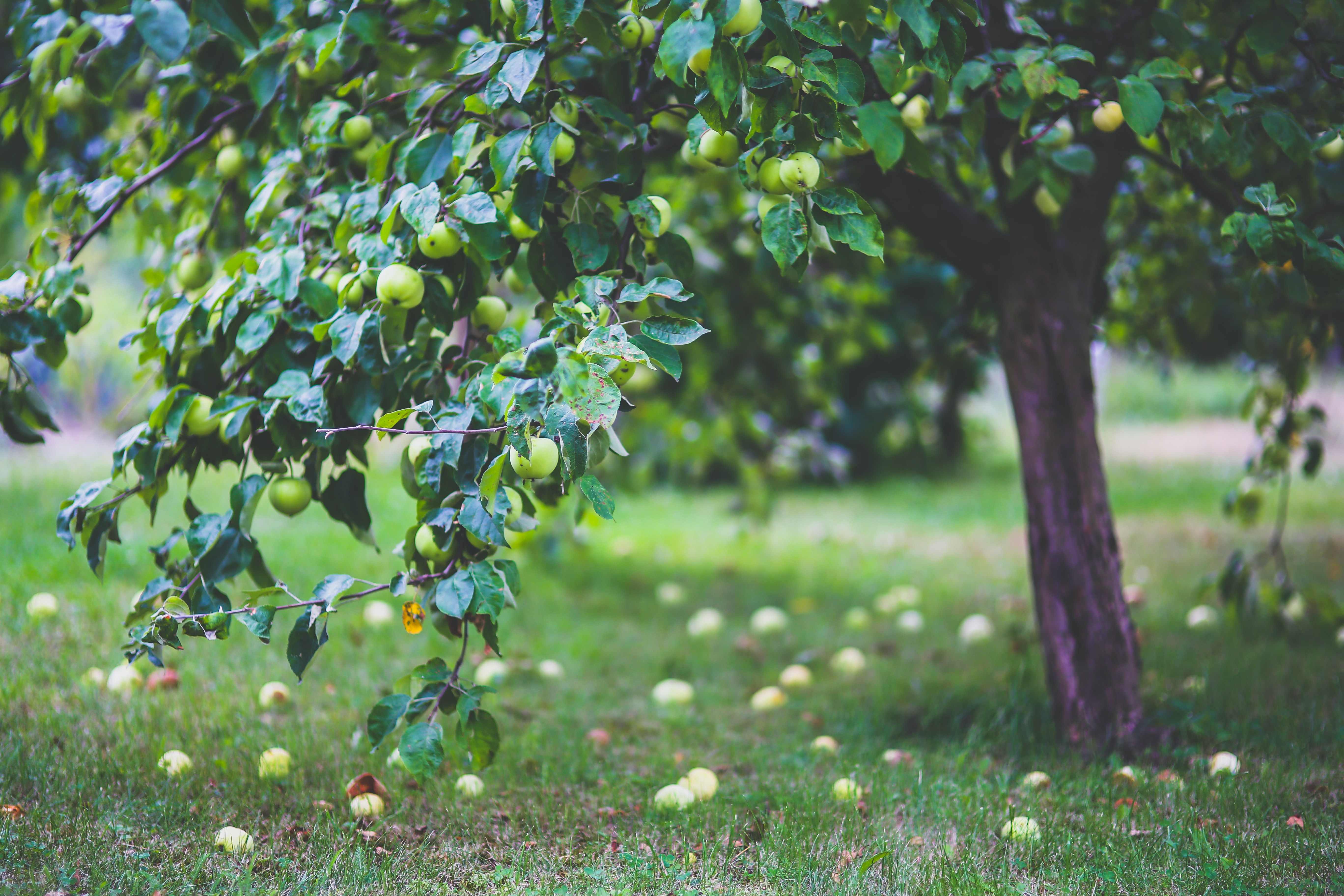 Apple Tree Free Stock Photo