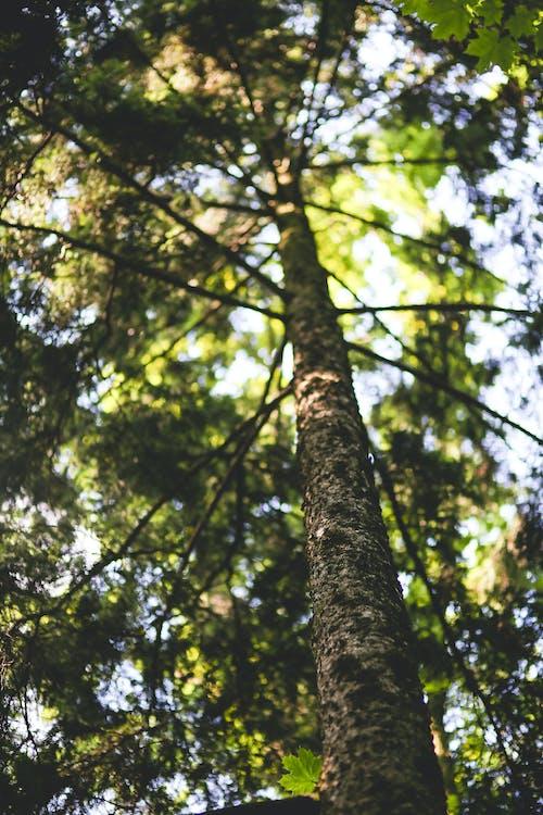 Ilmainen kuvapankkikuva tunnisteilla haukkuminen, luonto, mänty, metsä