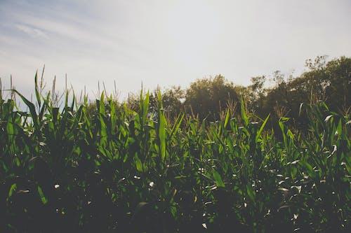 Imagine de stoc gratuită din fermă, labirint de porumb, porumb