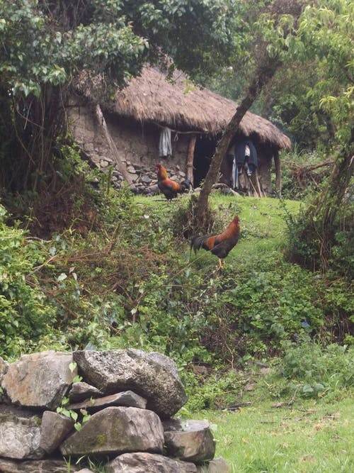 Free stock photo of Inka Trail, peru, roosters