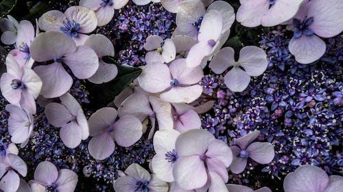 Foto d'estoc gratuïta de blanc, blau, flors, morat