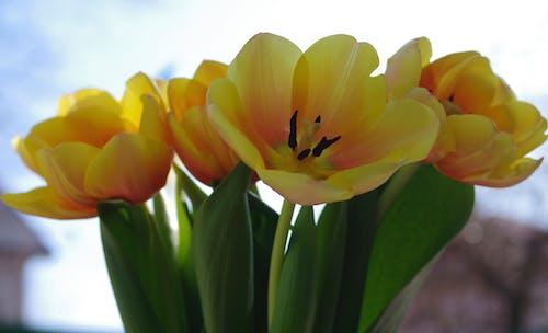 Ingyenes stockfotó csokor, rugó, sárga, tavasz témában
