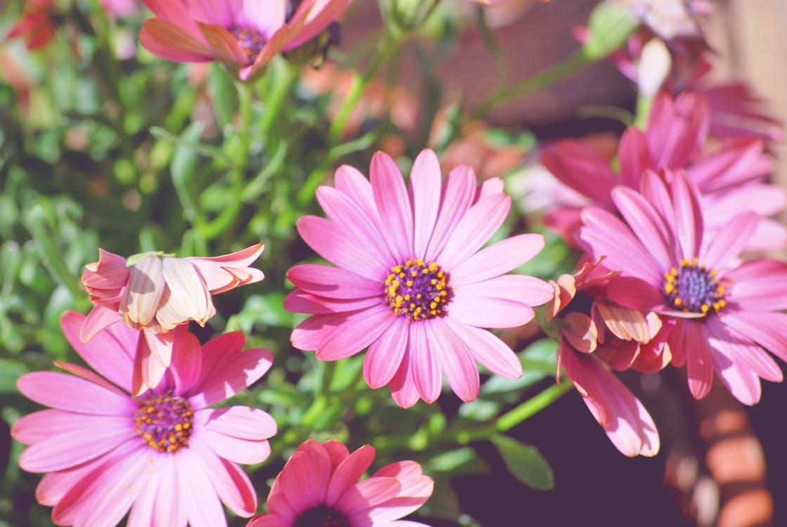 ぼかし, ピンクの花, フォーカス