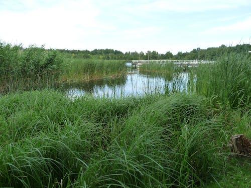 Free stock photo of reed, sea, water
