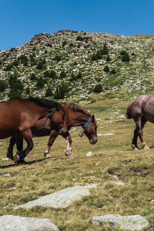 Side view of adorable purebred horses pasturing on grassy hill slope against cloudless blue sky on sunny day