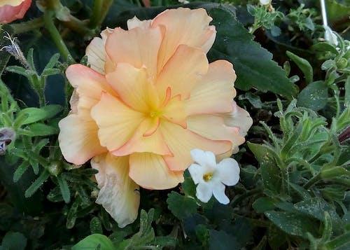 Ingyenes stockfotó begónia, őszibarack, természet, virág témában