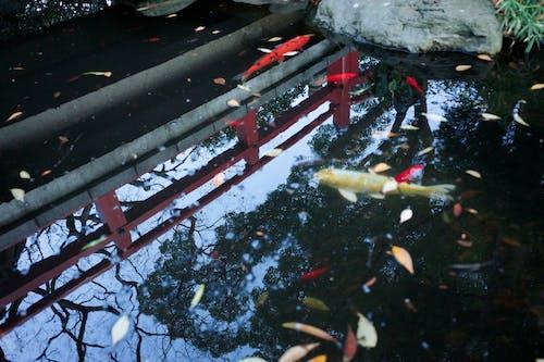 Immagine gratuita di carpa, cultura giapponese, giappone