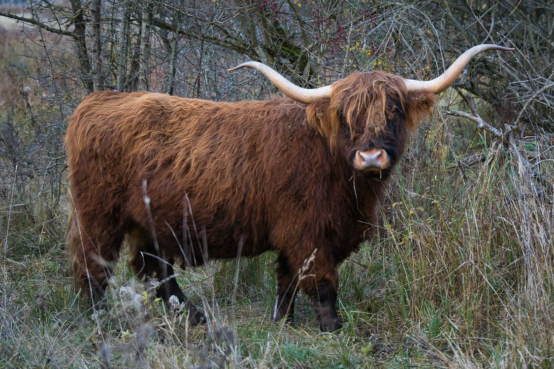 Highland Cattle on Dried Bushes