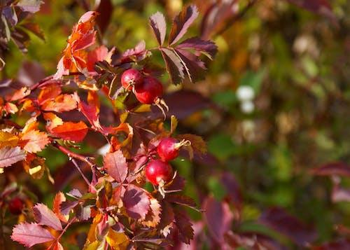 Ingyenes stockfotó csipkebogyó, dél-alberta, őszi lomb, őszi színek témában