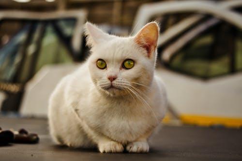 Gratis stockfoto met aanbiddelijk, dierenfotografie, huiskat