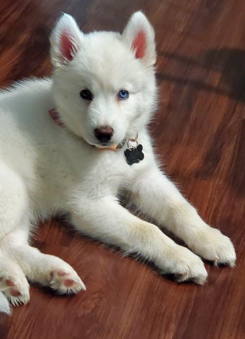 White Siberian Husky Puppy Lying on Brown Wooden Floor