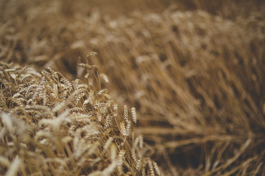 búza, gabona, mező