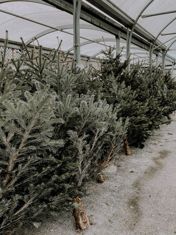 Lush pines placed in row in Christmas trees market