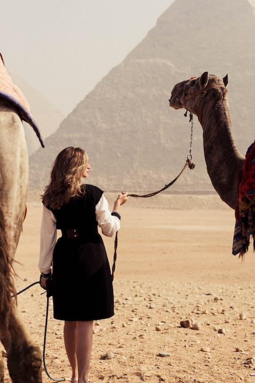 Kostnadsfri bild av Arabisk kamel, egypten, kameler, pyramider