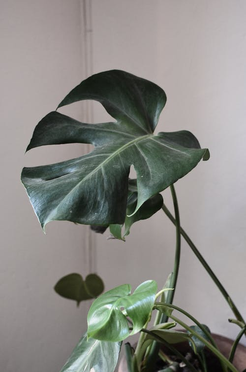 คลังภาพถ่ายฟรี ของ angiosperms, araceae, monocots