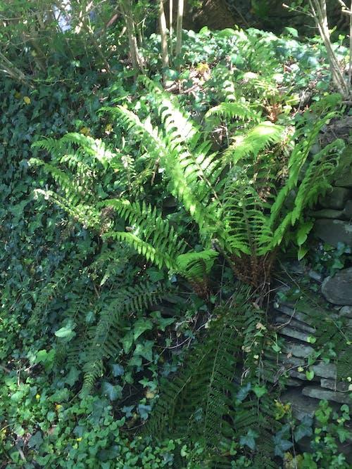 Free stock photo of dark green, dark green leaves, decorative plant