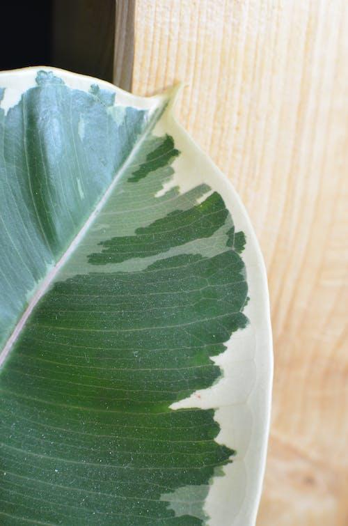 Fresh leaf of Ficus elastica tree near wooden wall