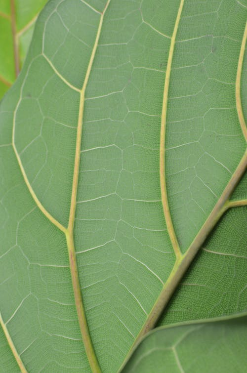 Closeup full frame textured background of green leaf with thin veins and stem