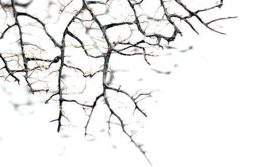 Leafless tree branches with thin needles