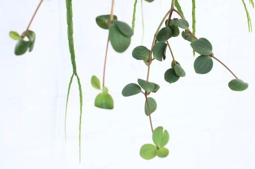 คลังภาพถ่ายฟรี ของ angiosperms, peperomia, piperaceae
