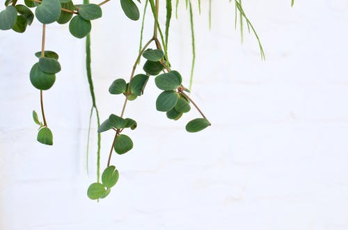 Climbing green plant on white background in daylight