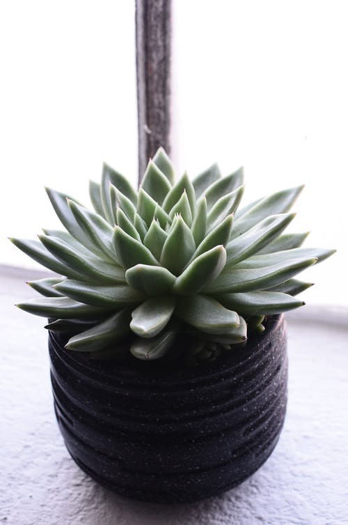 Abundant green echeveria succulent growing in ceramic pot and placed on windowsill in daylight