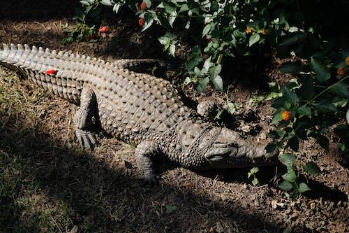 Základová fotografie zdarma na téma divočina, Krokodýl, nebezpečné