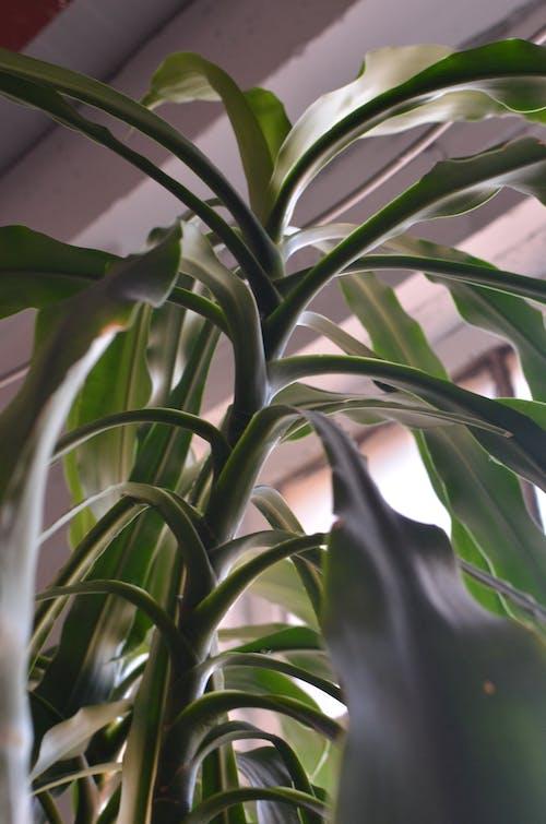From below of delicate leaves on massive stem growing in flowerpot near window