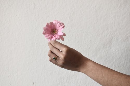 Unrecognizable person with golden ring on finger demonstrating small single flower with pink petals in hand on rough white background