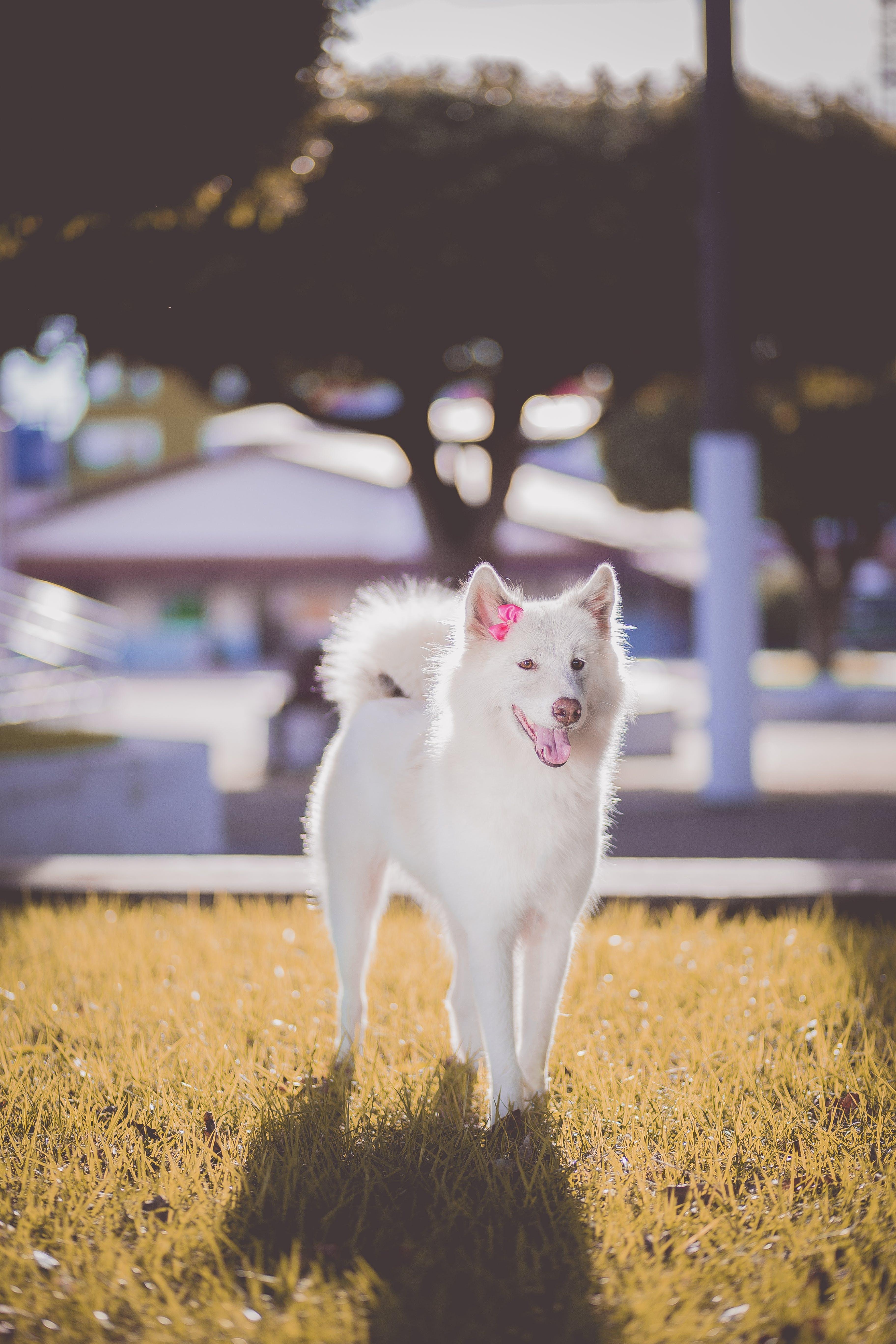 Základová fotografie zdarma na téma čistokrevný, domácí mazlíček, domácí zvíře, pes
