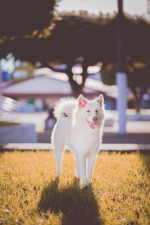 Short-coated White Dog on Grass Field