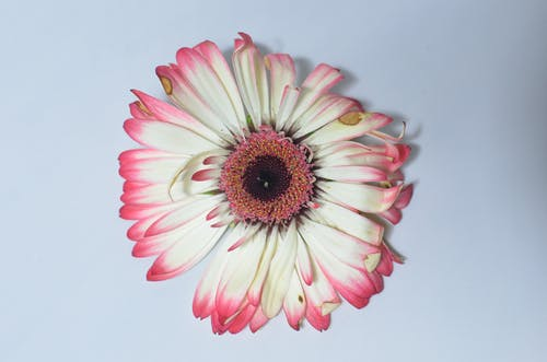 From above of single withered flower with white and pink petals placed on white background in bright room with shadow