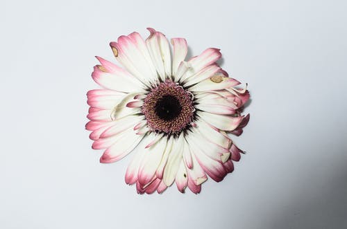 Withered gerbera on white surface