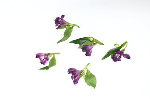 คลังภาพถ่ายฟรี ของ alstroemeria, กลิ่น, กลีบดอกไม้