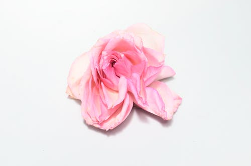 From above of single bud of rose with withered white and pink petals fading on white background in light studio during blooming season