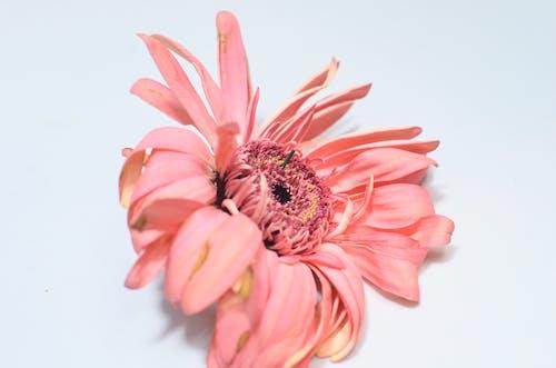คลังภาพถ่ายฟรี ของ กลิ่น, กลีบดอกไม้, ข้างใน