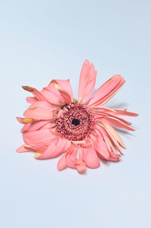 Pink gerbera with dried petals