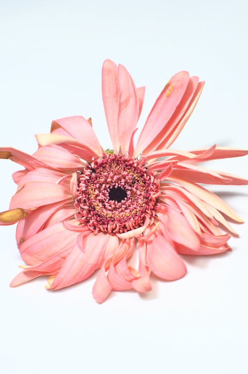 Single pink gerbera with shriveled gentle petals placed on white background during blooming season and fading in light modern studio