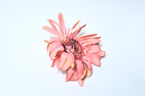 Top view of pink delicate gerbera with gentle petals placed on light blue background