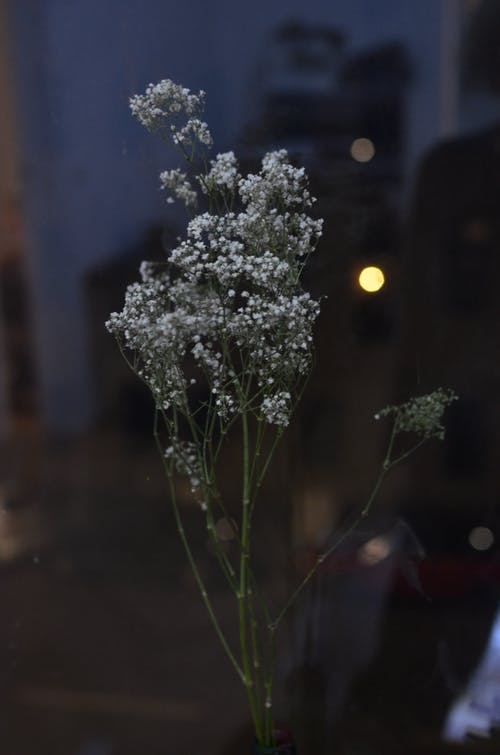Branches with tender white blooming flowers of gypsophila on thin green stems in dark dusky evening