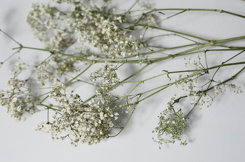 From above of fragile branches with flowers of gypsophila placed on white background