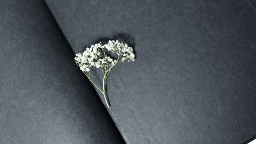 From above of small fresh twig of gypsophila plant placed in opened book with black pages