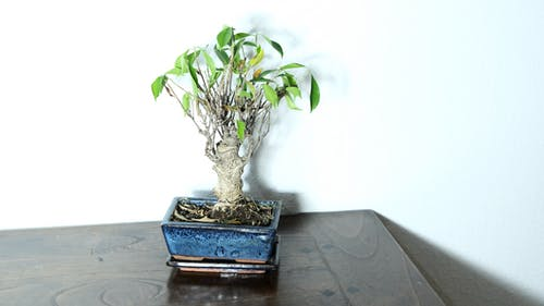 Bonsai plant with green leaves and thick stem in flowerpot placed on table in room