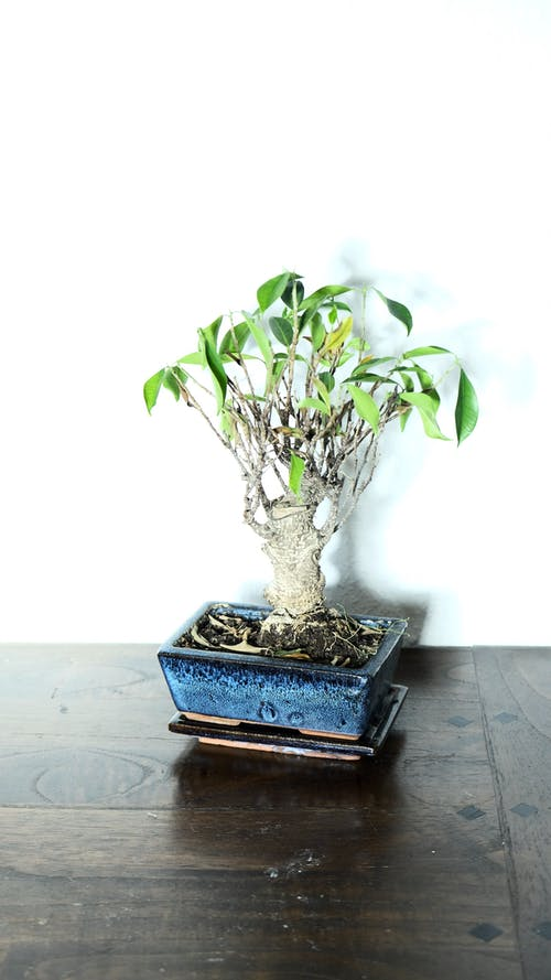 From above of bonsai plant with small green leaves and thick stem growing on flowerpot on table in room