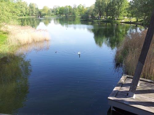 Free stock photo of swan, water