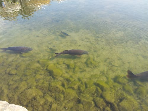 Free stock photo of fish, water