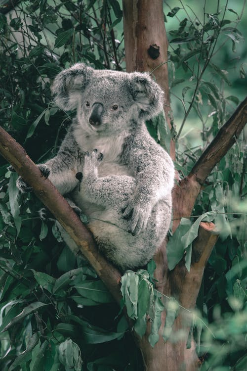 Koala bear with gray fur and clawed paws sitting on tree twig in zoo in daytime