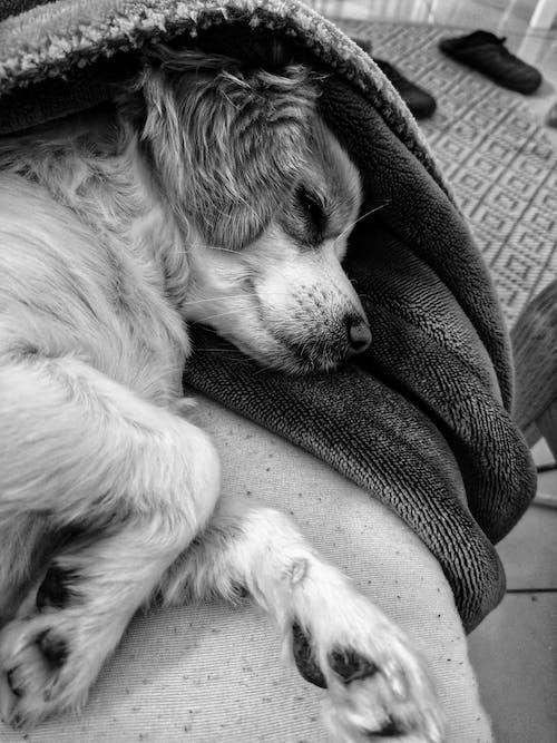 可愛, 小狗, 睡眠 的 免費圖庫相片